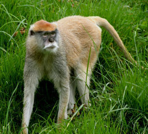 african animals of patas monkey wikipedia